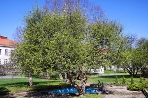 Kirsikkapuu löytyy suihkulähteen läheltä Törnävän sairaalan päärakennusta.