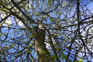 Omenapuu Törnävän sairaalan alueella