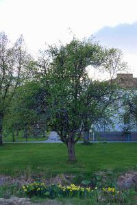 Vuodenkierron seurantasarjamme omenapuu.