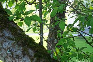 Omenapuun rungosta näkee ettei kyseessä ole aivan nuori puu.