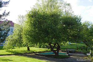 Törnävän sairaalan kirsikkapuut eivät vielä kuki, muualla kaupungilla toiset lajikkeet ovat jo kukassa.
