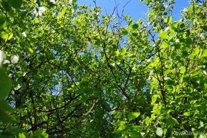 Kirsikkapuu sinisen taivaan alla.
