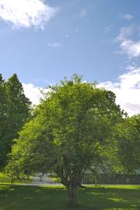 Omenapuu Tero Hintsa