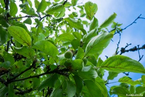 Tero Hintsa Omenapuu