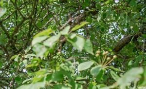 Pähkinäpuu.