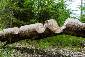 Beavers Tero Hintsa