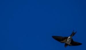 Pääskynen Swallow Tero Hintsa
