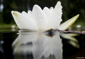 Water lilys Lumpeet Tero Hintsa