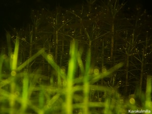 sphagnum underwater Tero Hintsa