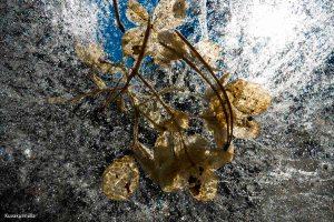 Flowers inside the ice Tero Hintsa