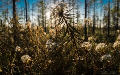 """Suopursu kesäyön auringossa Karvasuolla Seinäjoella. Suopursua on käytetty pitkään hyötykasvina. Elias Lönnrot kirjoitti vuonna 1860, että suopursun """"keitevesi karkoittaa syöpäläiset eläimistä ja sioista, kun heitä sillä pestään, niin myös luteet vuoteista"""". Nykyisin kasvista valmistetaan esimerkiksi tippoja, joiden mainostetaan auttavan käyttäjänsä vapautumaan ongelmien suosta."""