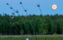 Tupasvillaa suomalaisessa kesäyössä.