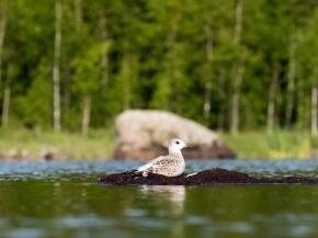 Kyrkösjärven linnustoa.