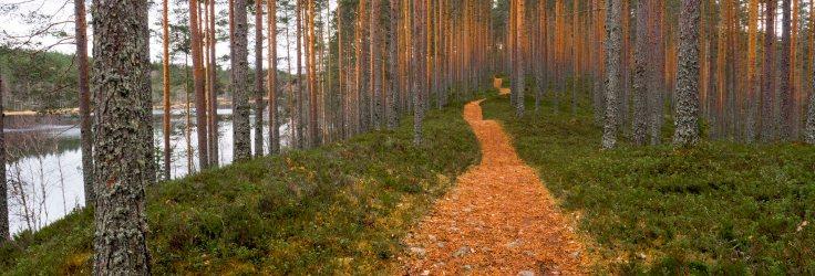 Polun ja mäntyjen runkojen värit sointuivat hienosti yhteen.