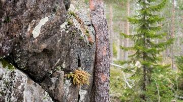Puu ottaa tukea kalliosta.
