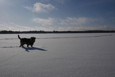 Koira lumenpeittämällä järvenjäällä. Taivas ei ole palanut puhki kirkkaasta säästä huolimatta, mutta koira ja koko kuvan etuala on jäänyt hyvin tummaksi.